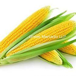 American Corn (મકાઈ)